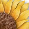 sunflower_thumbnail